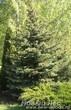 Ель колючая форма сизая (Picea pungens) высажена по плану ландшафтного дизайна