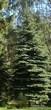 Посадка крупномеров Ели колючей формы сизой (Picea pungens)