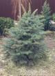Посадка дерева Ель колючая форма сизая (Picea pungens)