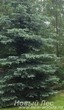 Посадка крупномера Ель колючая форма сизая (Picea pungens) в ландшафте
