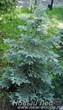 Летняя посадка дерева Ель колючая форма сизая