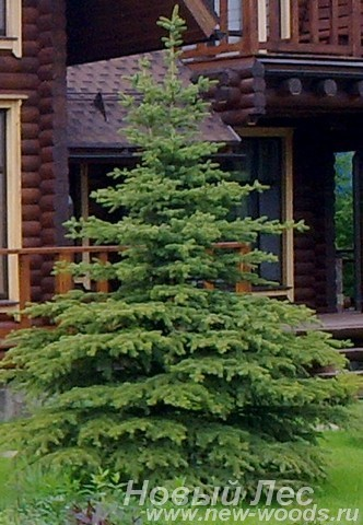 Посадка крупномера Ели колючей формы зеленой (Picea pungens) возле коттеджа