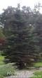 Посадка крупномеров Ели колючей формы зеленой (Picea pungens)