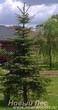 Посадка крупномера Ель колючая форма зеленая на территории загородного участка
