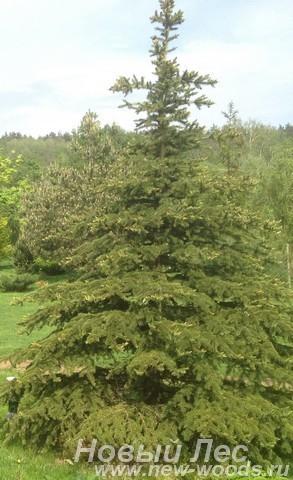 Озеленение: посадка крупномеров Ели колючей формы зеленой (Picea pungens)