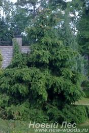 Хвойный крупномер Ель обыкновенная Акрокона (Picea abies 'Acrocona')