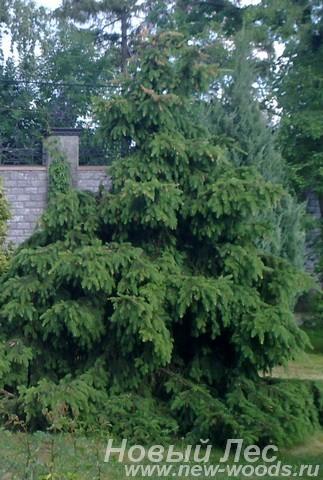 Посадка крупномеров Ели обыкновенной Акрокона (Picea abies Acrocona)