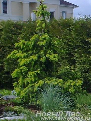 Посадка дерева Ель обыкновенная Акрокона (Picea abies Acrocona)