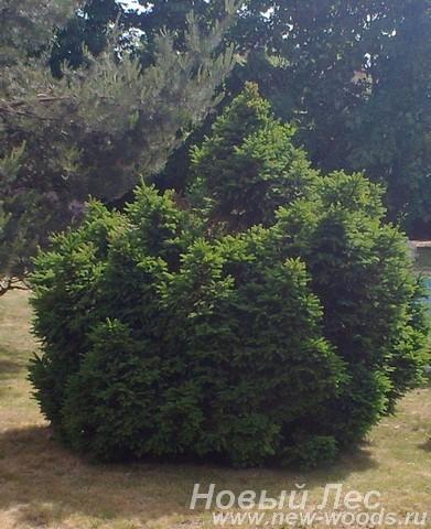Посадка крупномеров Ели обыкновенной Барри (Picea abies Barryi) в ландшафте