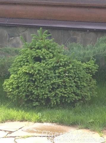 Декоративная посадка дерева Ель обыкновенная Барри (Picea abies Barryi) у дома
