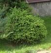 Озеленение по ландшафтному дизайну: посадка Ели обыкновенной Барри