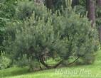 Посадка хвойных крупномеров Сосны горной (Pinus mugo) в ландшафте