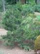 Посадка Сосны горной (Pinus mugo) в декоративной композиции