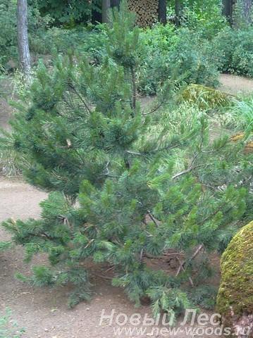 Посадка Сосны горной (Pinus mugo) в декоративной композици