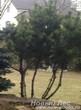 Посадка крупномера Сосны горной на участке возле дома
