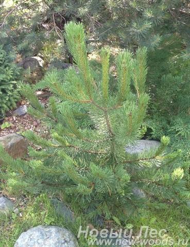Посадка Сосны горной (Pinus mugo)