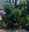 Посадка дерева Сосна горная (Pinus mugo)