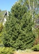 Посадка крупномеров кедра - Сосны сибирской кедровой (Pinus sibirica)