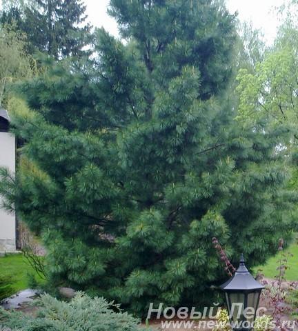 Посадка крупномера кедра (Сосны сибирской кедровой) возле загородного дома