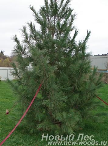 Посадка крупномеров Сосна сибирская кедровая (Сибирский кедр, Pinus sibirica)