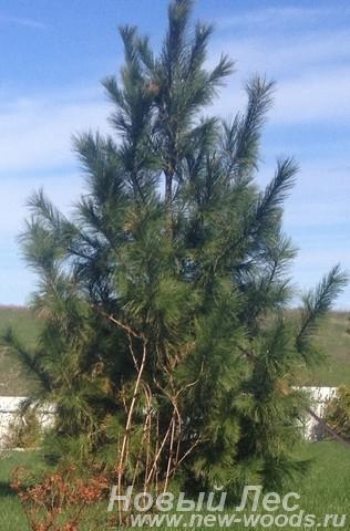 Посадка Сосны сибирской кедровой (Сибирского кедра, Pinus sibirica)