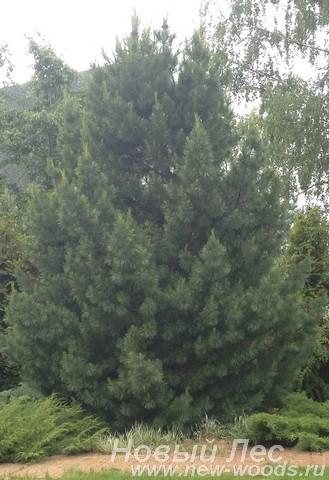 Посадка Сибирского кедра (Сосны сибирской кедровой, Pinus sibirica)